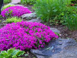 landscaping with phlox sublata