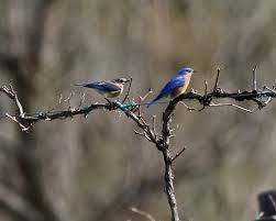 Pair of Bluebirds after mating | Dan Getman Bird Photos | Flickr