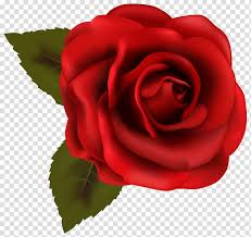 rose red beautiful red rose