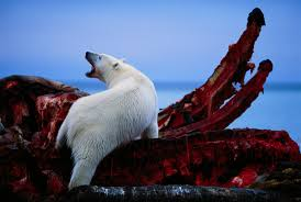 sharks that eat polar bears whalereports shark nearly chokes to  man stands in front of polar bears as they feast on the remains man stands in