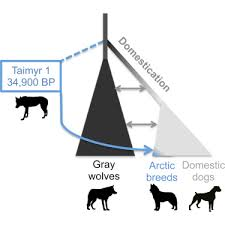 Canine Evolution Chart Ancient Wolf Genome Reveals An Early Divergence Of Domestic