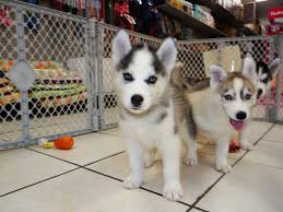 husky puppies for sale. Beautiful For Siberian Husky Puppies For Sale In Wilmington Delaware DE Felton  Rehoboth Beach Wyoming C  YouTube In Husky Puppies For Sale A