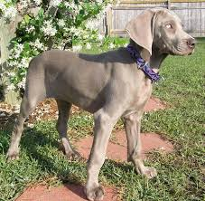 weimardoodle pictures weimaraner poodle mix dog