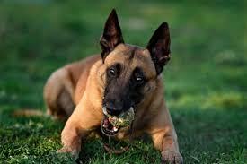 How Strong Is The German Shepherd Bite Force Allshepherd