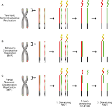 Alternative Lengthening Of Human Telomeres Is A Conservative Dna