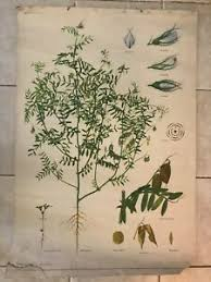 Details About Original Vintage Botanical School Chart Of Lentil Lens