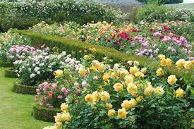 garden roses. Garden Roses - David Austin