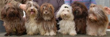 Small Picture German Havanese Color Website Archive Havanese Forum
