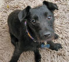 black wire haired terrier mix. Interesting Haired FileJess Terrier Mix 05jpg W450jpg For Black Wire Haired Terrier Mix O