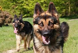 will your dog remember his sister stus say yes and have shown that a dog will approach a littermate over an un dog even after months of