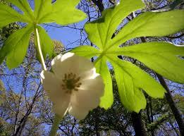 Arugula Companion Planting Chart Walking About The Post Oak Savannah Cubit Walking About The