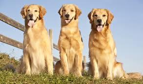 golden retriever. Wonderful Retriever Three Golden Retrievers Sitting Outdoors Inside Retriever L
