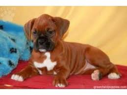 boxer puppies reds