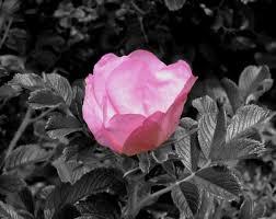 Znalezione obrazy dla zapytania wild rose black and white