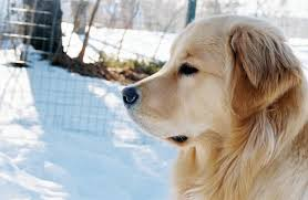 american vs english golden retrievers. Delighful American American Golden Vs English  Retrievers  Retriever  Dog Forums To O