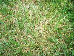 Brown Patch Disease Brown Patch On Fescue Close Up Pictures Walter Reeves The