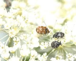 Varied Carpet Beetles Photograph by Aubrey Moat