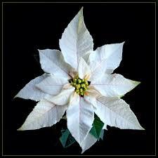 Weihnachtsstern Euphorbia Pulcherrima Weiße Mini Kulturhy