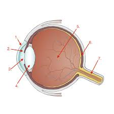 Order In Which Light Passes Through The Eye Quizlet Eye Anatomy Diagram Quizlet