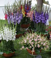 can i grow gladiolus in a container how to care for gladiolus bulbs in pots