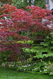 Small Picture Best 25 Bloodgood japanese maple ideas on Pinterest Landscaping