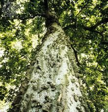 HerbsTreat And Taste WHAT IS AMLOOK FRUIT DATE PLUM OR Lotus Fruit Tree