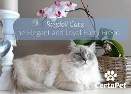 Ragdoll Cats The Elegant And Loyal Furry Breed Certapet
