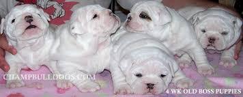 white english bulldog puppies photos