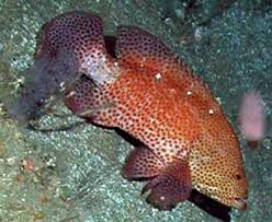 Grouper Species Chart Saltwater Fish Species South Atlantic Gulf Of Mexico And