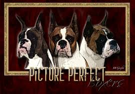 chions we have bred fading puppies show news planning a visit breeding philosophy info and helpful links german vs american boxer