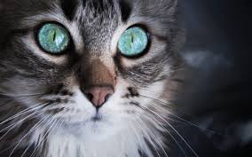 cat with sky blue eyes wallpapers