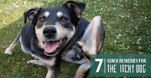 Home Remedies For Itchy Dogs