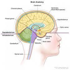 Central Nervous System Vs Peripheral Nervous System Venn Diagram Central Nervous System Diagram Fantastisch Labeled Diagram The