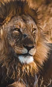 1280x2120 Beast, king, lion wallpaper ...