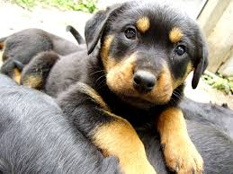 german shepherd mix puppies. Interesting German Rottweiler German Shepherd Mix Puppy Dog Wallpapers For Puppies I
