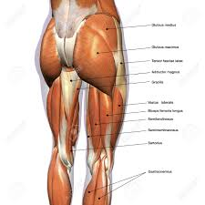 Rear View Of Female Hip And Leg Muscles With Labels