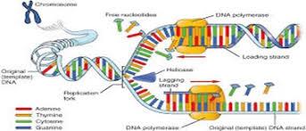 Dna Replication Assignment Help Biology Homework Help