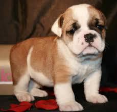 fawn red brindle akc english bulldogs for in wa or ca