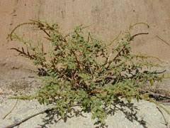 Amaranthus Spinosus Spiny Amaranth Pfaf Plant Database