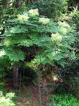 japanese angelica tree