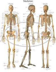 Anatomy Charts For Classes Not Masses