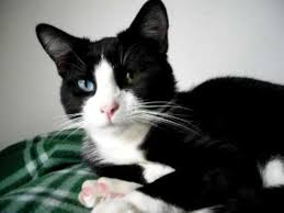 black and white kitten with blue eyes.  With My Odd Eye Black And White Cat Vesper  See Us At  Httpwwwoddeyekittenscom  YouTube In And Kitten With Blue Eyes E