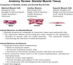 Chapter 10 Muscle Tissue 1 What Are The Functions Of