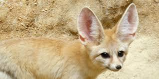 fennec fox. Fine Fox Intended Fennec Fox C