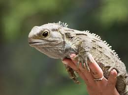 Small Picture Tuatara Information for Kids