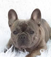 roses are red violets are blue what does a blue french bulldog