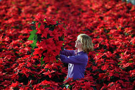 Weihnachtsstern Pflanze Das Verraten Die Blätter über