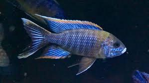 Red Top Lawanda African Cichlid   Cichlids, African cichlids ...