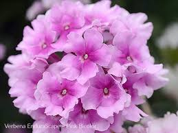 pink round flowers of verbena endurascape