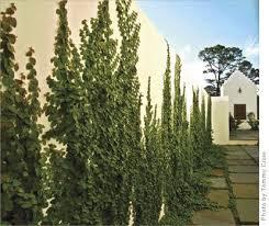 Best 25 Ficus Pumila Ideas On Pinterest  Vines Green Nature And Wall Climbing Plants Nz